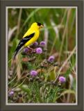 Goldfinch on bull thistle.jpg