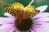 butterfly on cone wings spread.jpg
