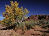 Valley of the Gods Cottonwood