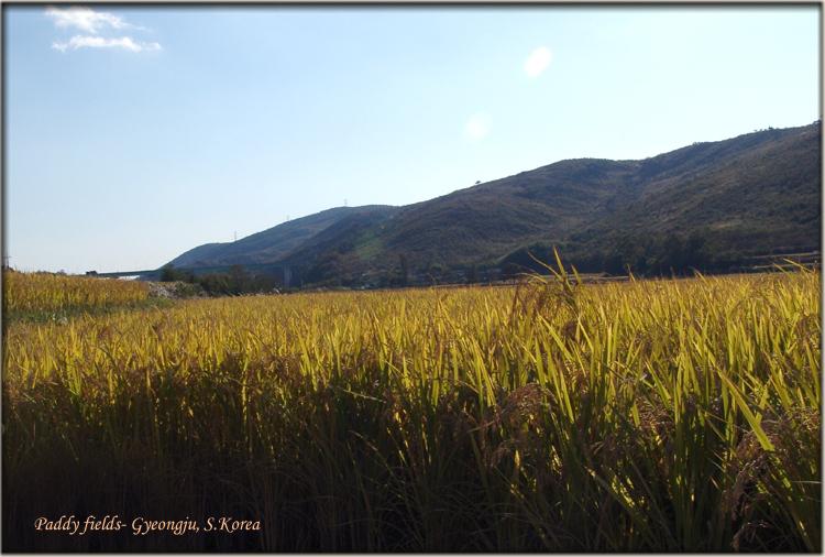Rice fields : Gyeongju countryside view