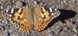 Butterfly on Wolf Creek