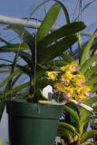 Aerides falcata v houllutiana plant IMG05500