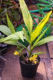 Calanthe densiflora plant IMG05875
