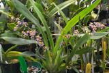 Oncidium ornithorhynchum plant IMG05807