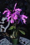 Cattleya maxima #1 IMG06038