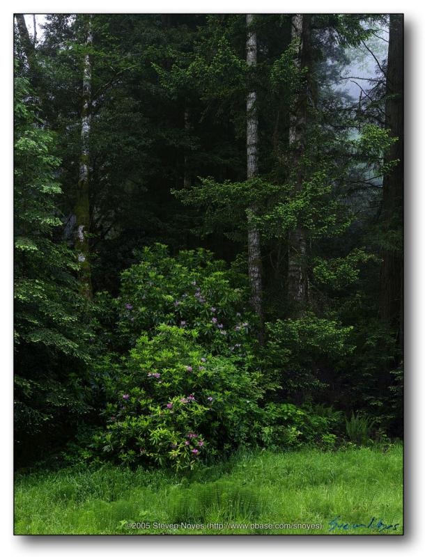 Rhododendron Against Redwoods : Northern California