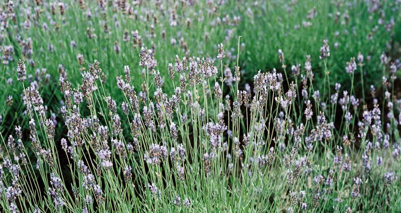 End of the lavender season