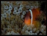 Finding The Fijian Nemo