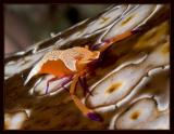 Emperor Shrimp on a Sea Cucumber