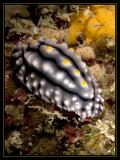 Nudibranch, Elegant Phyllidia