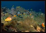 Sea of Anemone Fish