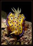 Chromodoris Kuniei  Nudibranch
