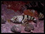 Baby Scorpionfish,  Redondo 9/11/05