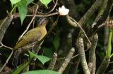 Laced Woodpecker ( Picus vittatus ), Female