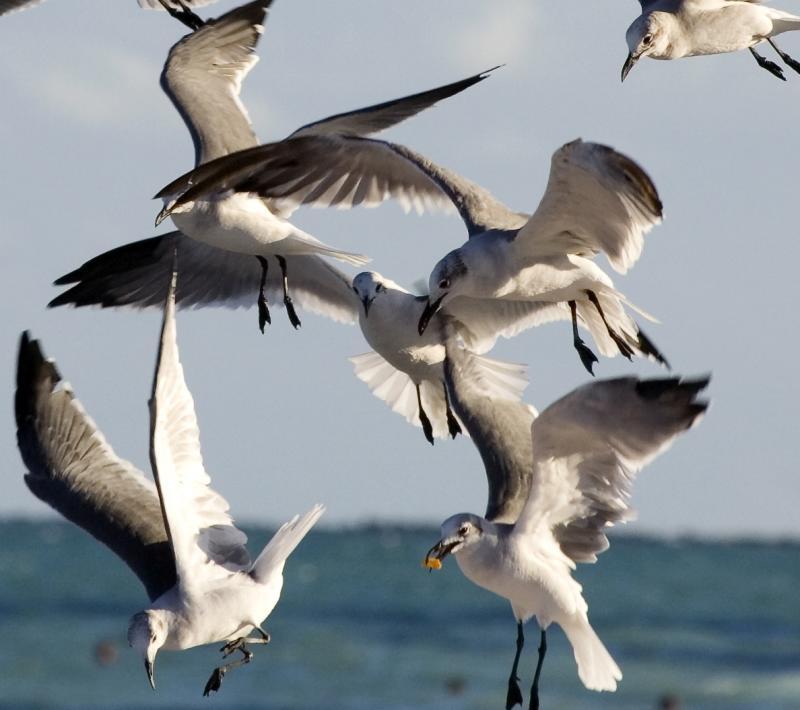 fighting gulls cropped
