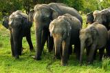 Wild elephants at Minneriya National Park