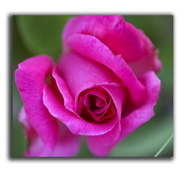 Park pink rose