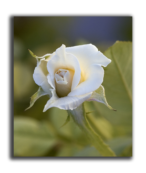 Baby white rosebud