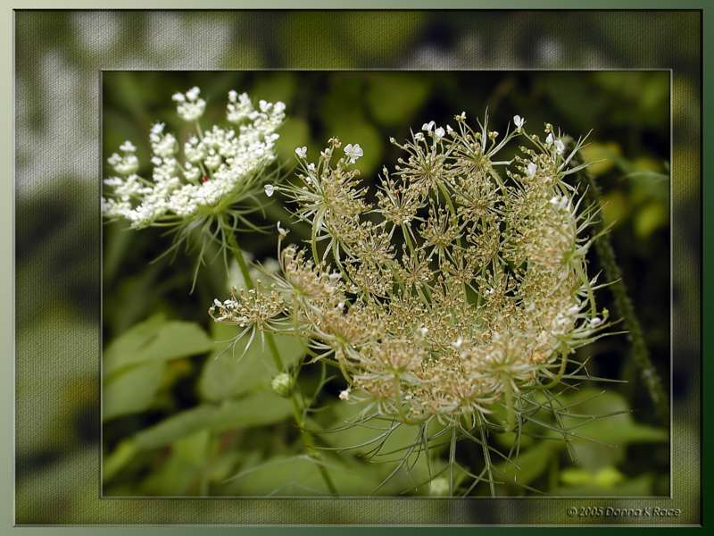 <b>Queen Annes Lace