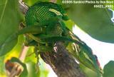Cuban Anoles mating animal stock photo #6421