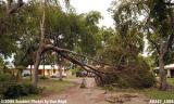 Hurricane Katrina damaged black olive tree on Sabal Drive, Miami Lakes, photo #6447