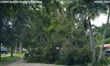 Hurricane Katrina damaged black olive tree on Sabal Drive, Miami Lakes, photo #6448
