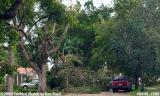 Hurricane Katrina damaged black olive tree on Sabal Drive, Miami Lakes, photo #6449