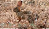 Rabbit in Sedona, Arizona photo #0669