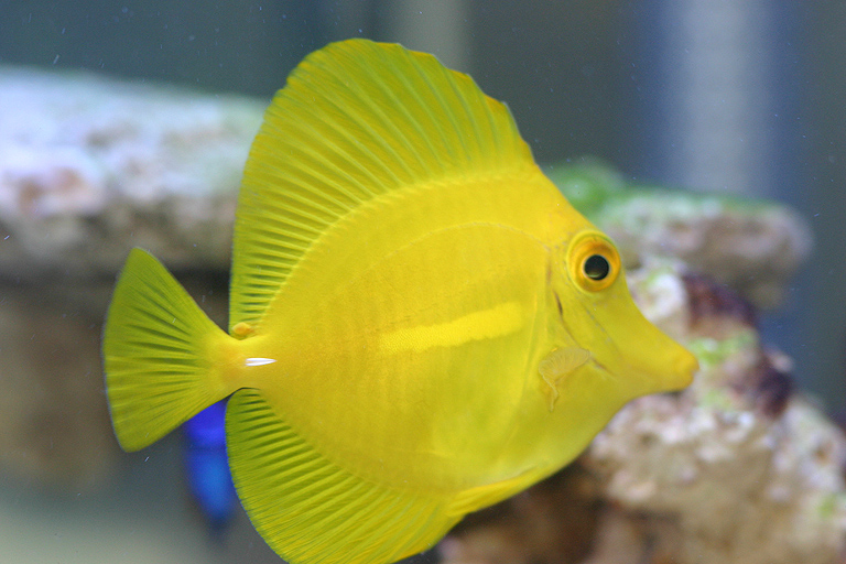 Hawaiian Yellow Tang