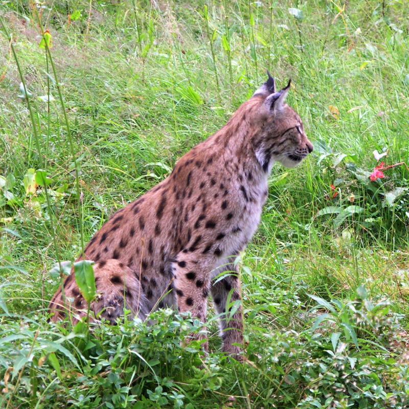 Lynx portrait.jpg