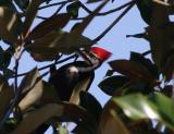 Pileated Woodpecker Male2.jpg