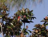 Pileated Woodpecker Male4.jpg