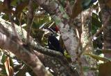 Female Pileated Wood Pecker.jpg