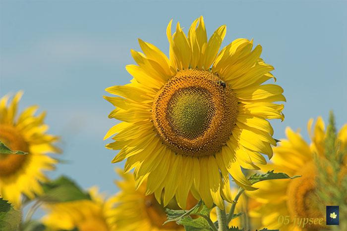 blue sky and sunflower