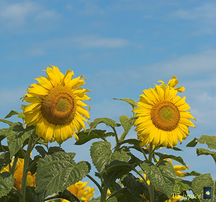 two glorious sunflowers