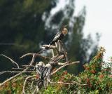 anhinga mother and her chicks