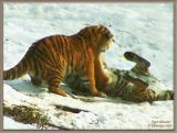 Tiger Wrasslin'