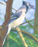 Mr. (Raptor) Blue Jay - who eats raw in the shell peanuts & baby birds !