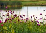 Pond, Wildflowers and Dusk