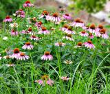 Purple Coneflower Garden