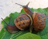Escargots dans l'amour