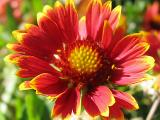 Colorful Painted Daisy