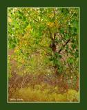 Cottonwoods Rain and Sage