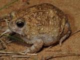 Northern Spadefoot frog, Notaden melanoscaphus