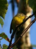 Paruline a joues grises - Nashville warbler