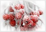 Mountain Ash Berrys