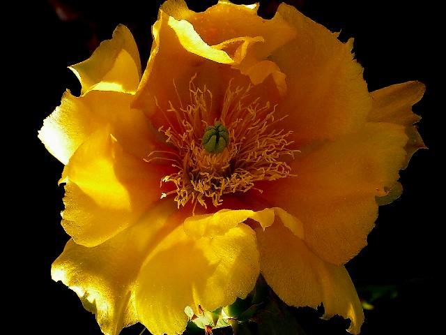 5-2005 Cactus Flower Study.jpg