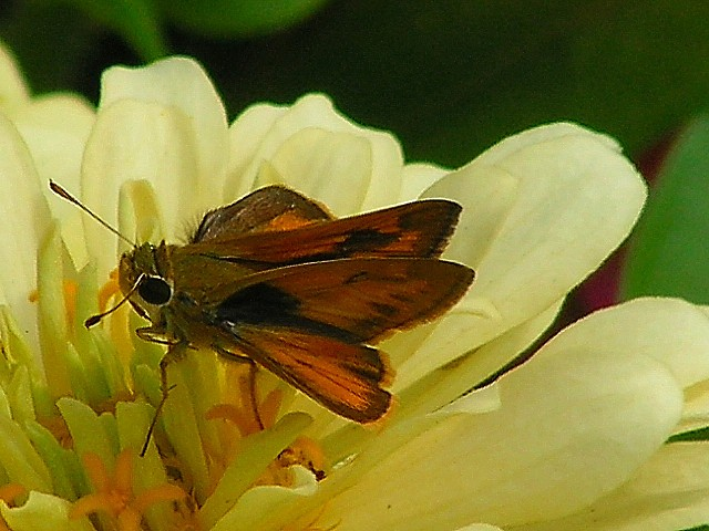 8-7-05 Butterfly on Zinnia.JPG