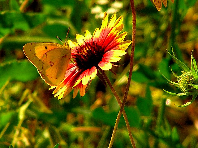 4-26-2005 Butterfly on Firewheel3.JPG
