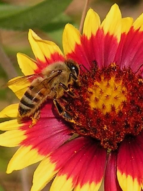 4-28-2005 Bee on Firewheel.JPG
